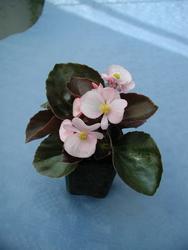 Begonia semp. Strahov F1 1/16g - 1