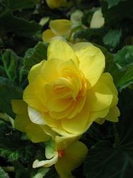 Begonia tuberhybrida Žlutá 1/16g - 1