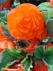 Begonia tuberhybrida Žlutooranžová 1/16g
