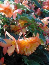 Begonia t. pendula Chanson oranžovo-žlutá F1 1/16g - 1