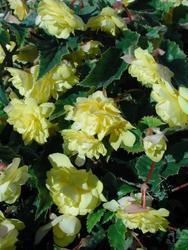 Begonia t. pendula Chanson světle žlutá F1 1/16g