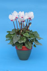 Cyclamen persicum White with red eye 100 seeds