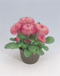 Bellis perennis Roggli růžová 500s - 1