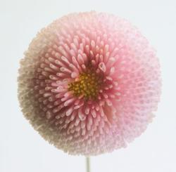 Bellis p. Tasso růžová 500s - 1