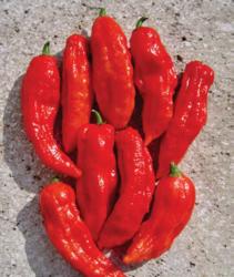 Capsicum chinense Bhut Jolokia Red 100s