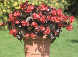 Begonia x b. Big® Red Bronze Leaf F1 200 pelet - 1