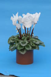 Cyclamen persicum White 100 seeds - 1