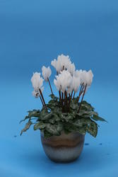 Cyclamen persicum mini Brigitte 100 seeds