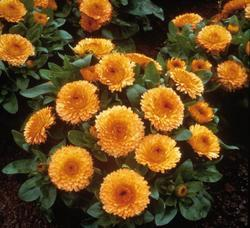 Calendula off. Bon Bon apricot orange 500 seeds