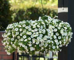 Calibrachoa Kabloom White 100 pelet - 1