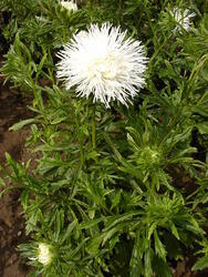 Callistephus chinensis Nina 2g - 1