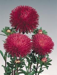 Callistephus chinensis Gala Burgundy 1000 seeds