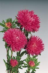 Callistephus chinensis Gala Carmine Rose 1000s - 1