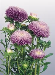 Callistephus chinensis Gala Lavender 1000s - 1