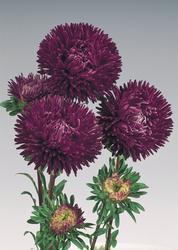 Callistephus chinensis Gala Purple 1000s