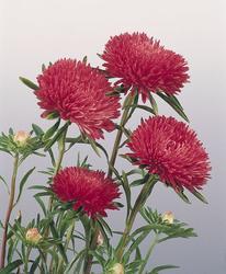 Callistephus chinensis Gala Scarlet 1000 seeds