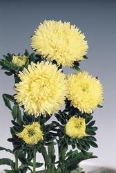 Callistephus chinensis Gala Yellow 1000s - 1
