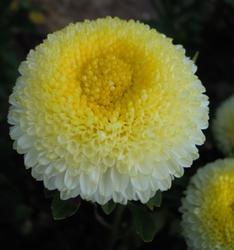 Callistephus chinensis Gracia 2g