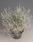 Calocephalus b. Bed Head 200 semen - 1/3