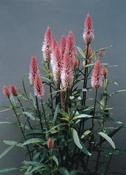Celosia spicata Flamingo Feather 500 semen