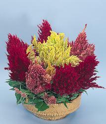 Celosia plumosa Gloriolus Mix 500s