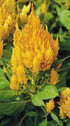 Celosia plumosa Gloriolus Yellow 500s