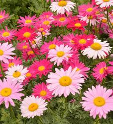 Chrysanthemum coccineum Robinsons Giant Mix 1g - 1