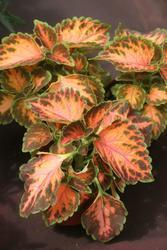 Coleus blumei Wizard Coral Sunrise 500s