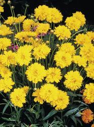 Coreopsis grandiflora  Early Sunrise 500 seeds - 1