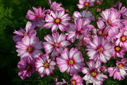 Cosmos bipinatus Capriola FSN 100 seeds