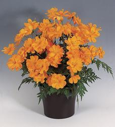 Cosmos sulphureus Cosmic Orange 100s - 1