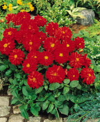 Dahlia variabilis Figaro Red Shades 100 seeds