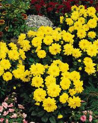 Dahlia variabilis Figaro Yellow Sh. 100s