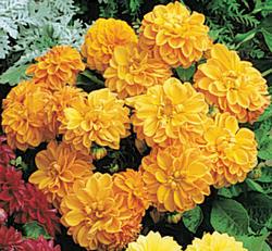 Dahlia variabilis Figaro Orange Sh. 100s