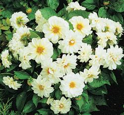 Dahlia variabilis Figaro White 100s