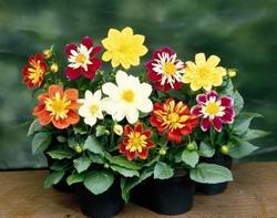 Dahlia variabilis Harlequin Mix 100s - 1