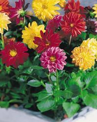 Dahlia variabilis Gartenfreude 100s