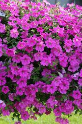 Petunia h. Diamond Rose Vein F1 250 pelet - 1