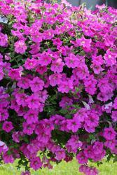 Petunia h. Diamond Rose Vein F1 50 pellets - 1