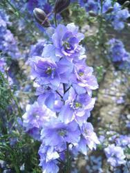 Consolida regalis Blue-violet 5g