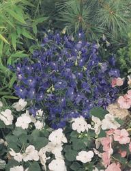 Delphinium grand.Summer Nights 250 seeds