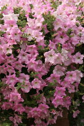 Petunia h. Diamond Pearly Shades F1 50 pellets - 1