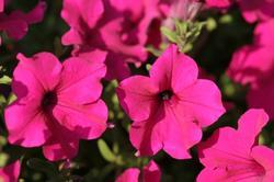 Petunia h. Diamond Purple F1 50 pellets - 1