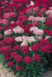 Dianthus barbatus New Colour Mix 2g