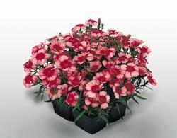 Dianthus Super Parfait Raspberry F1 200 pelet - 1