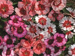 Dianthus Super Parfait Mix F1 200 pelet