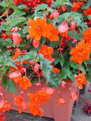 Begonia t. pendula Chanson Orange F1 50 pellets
