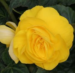 Begonia tuberhybrida Yellow 50 pellets