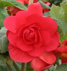 Begonia tuberhybrida Deep Rose 50 pellets