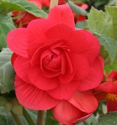 Begonia tuberhybrida Růžová 50 pelet
